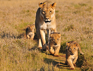 a lion and her cubs