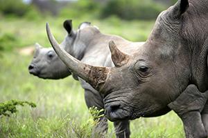 Rhinoa